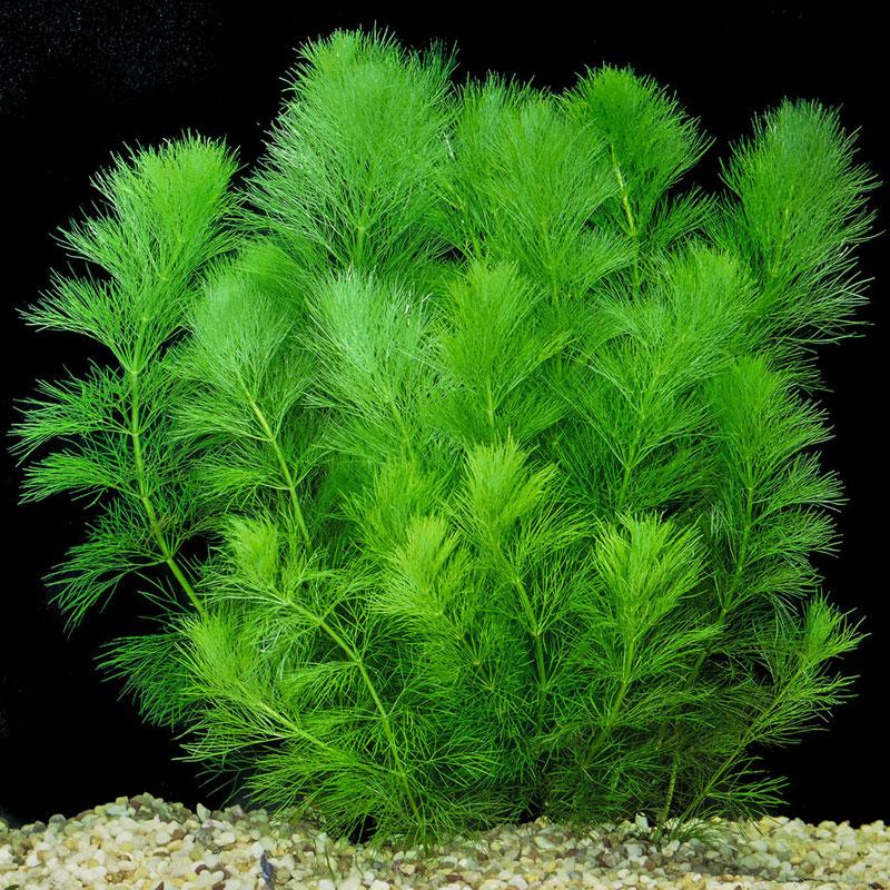 Растение Амбулия Индика