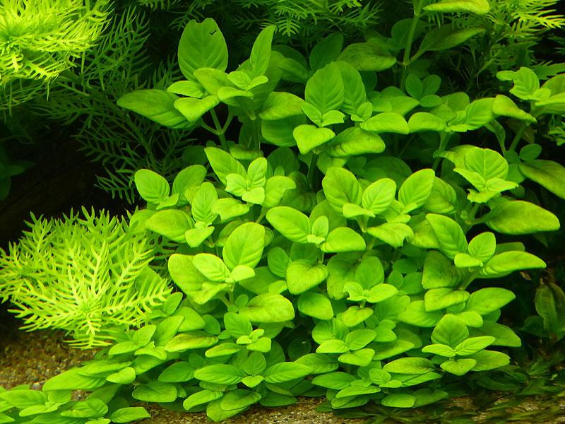 Растение амбулия ругоза