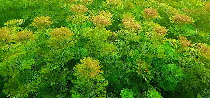 Растение Лимнофила сидячецветковая
