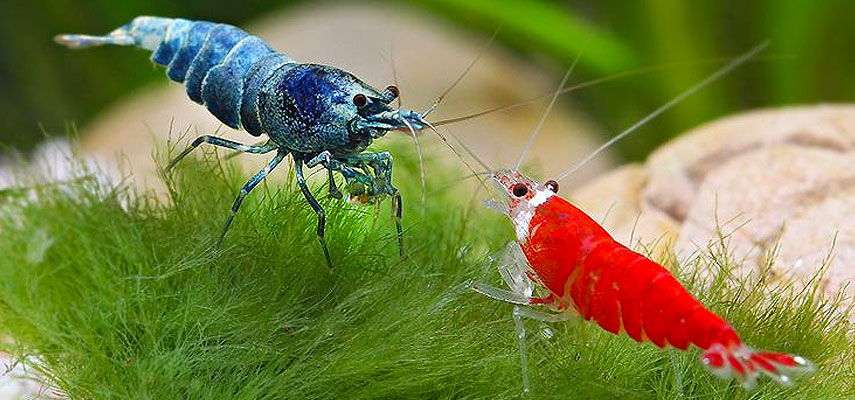 Креветки и раки в одном аквариуме